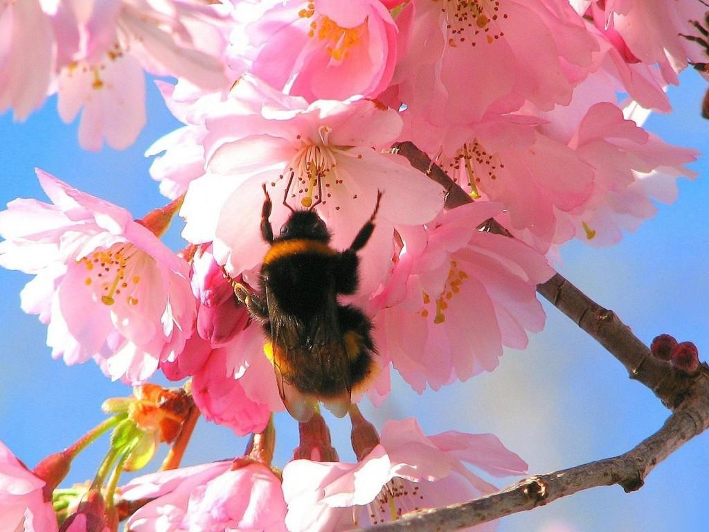 Фото Шмель, сидящий на цветах вишни