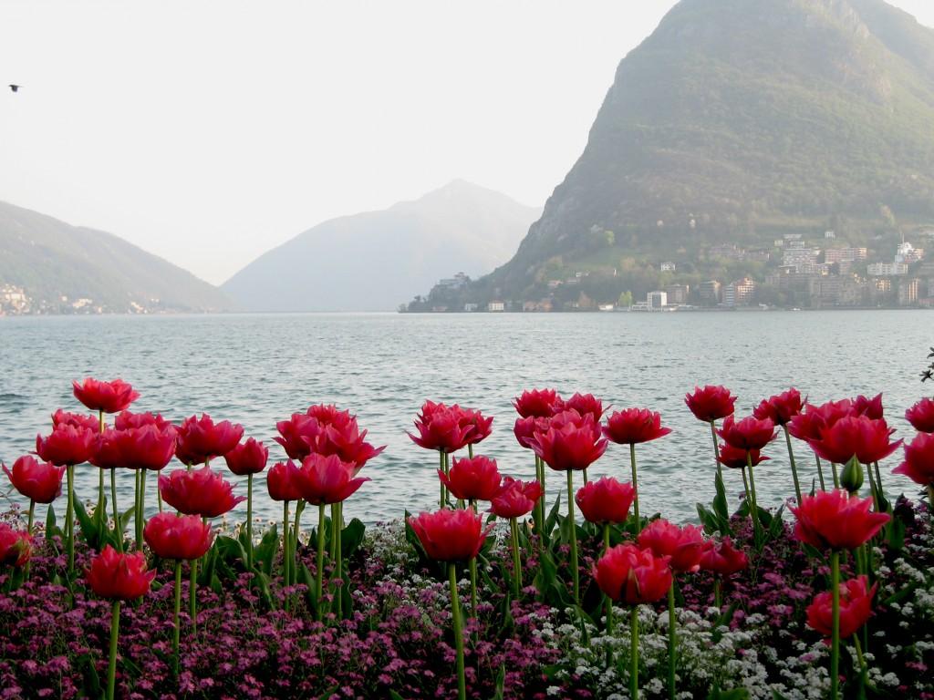 Фото красные тюльпаны и другие цветы
