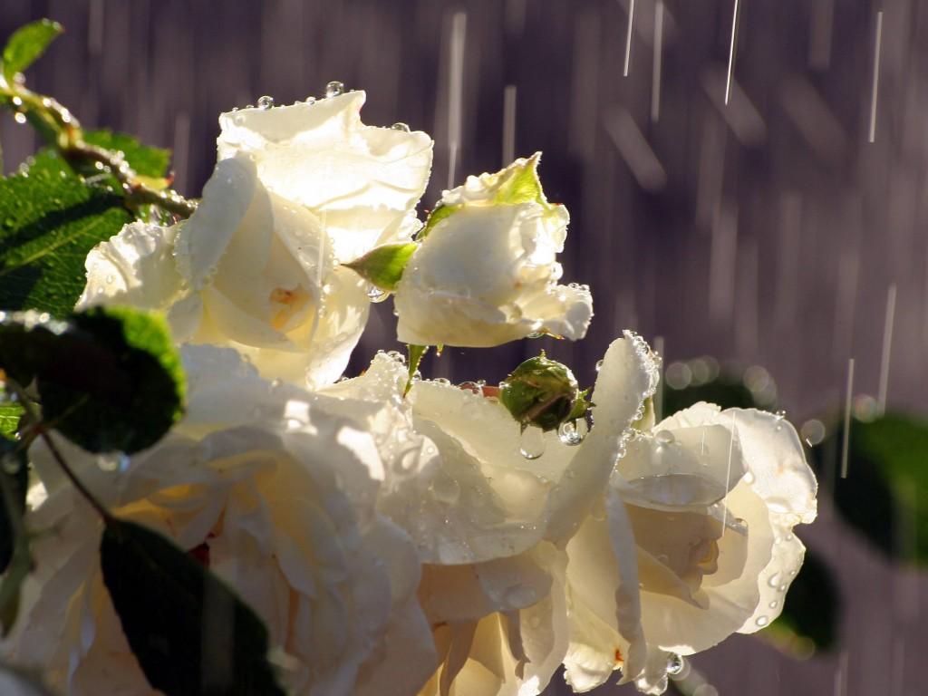 Картинки цветы под дождем 5