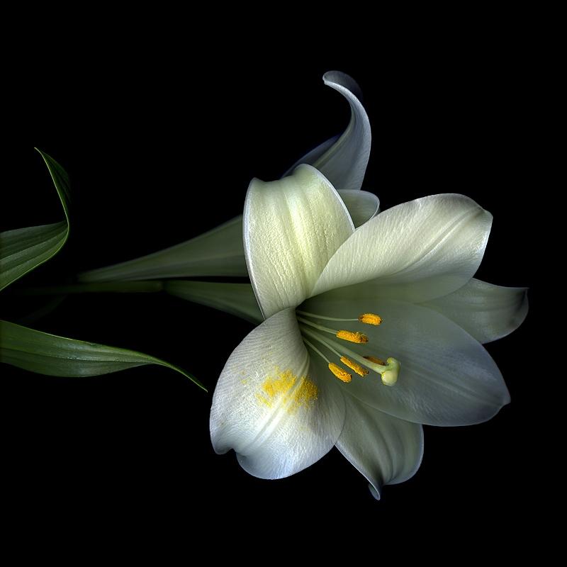Фото белая лилия на черном фоне