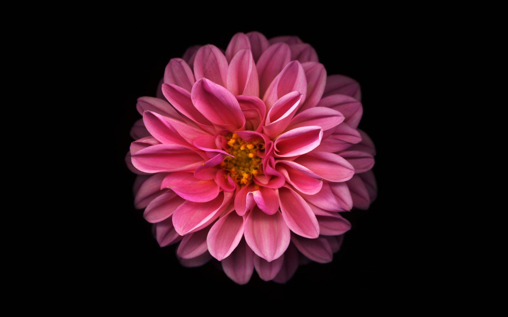 Цветок георгины на темном фоне