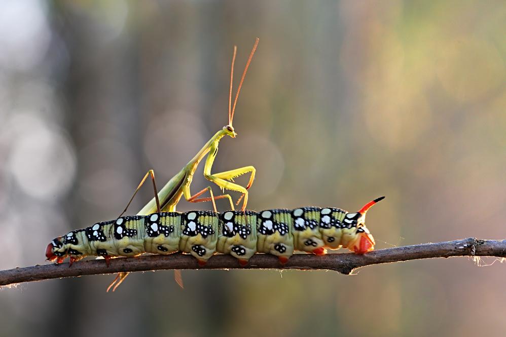 это картинка двух гусеницах выполняется