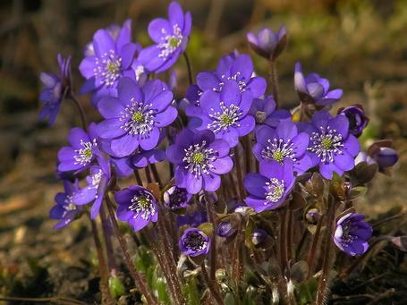 Фото Куст светло-фиолетовых подснежников (© Felikc), добавлено: 02.02.2013 11:39
