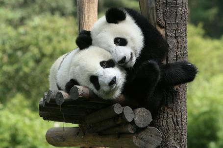 Фото Две панды сидят на дереве (© Banditka), добавлено: 03.02.2013 11:53