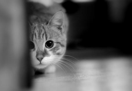 Фото Красивая фотография кота с расширенными зрачками, который прячется за углом (© Wolf), добавлено: 03.02.2013 16:49