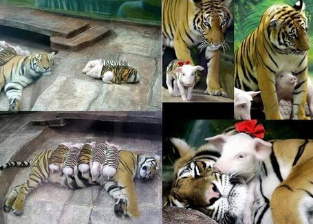 Фото Тигрица няньчит поросят, переодетых в тигрят