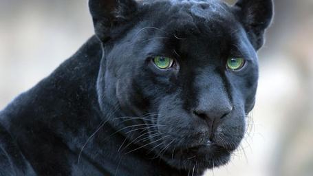 Фото Грустная пантера с зелеными глазами