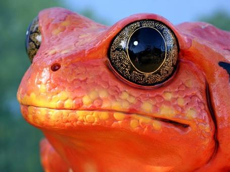 Фото Красная лягушка с выпученными черными глазами