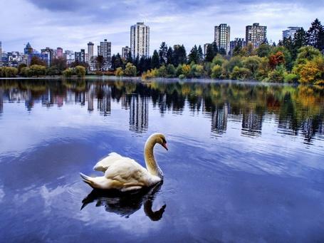Фото Белый лебедь плавает в городском пруду