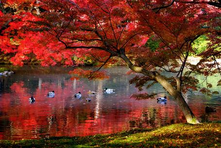 Фото Утки на пруду под деревом с красной листвой (Япония, Киото / Japan, Kyoto ) (© Banditka), добавлено: 05.02.2013 16:39