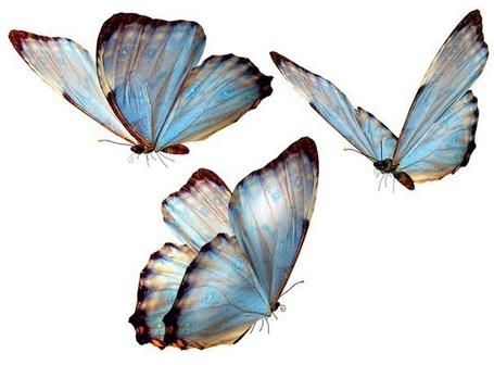 Фото Красивые голубые бабочки (© Mr. Panda Tao), добавлено: 07.02.2013 12:27