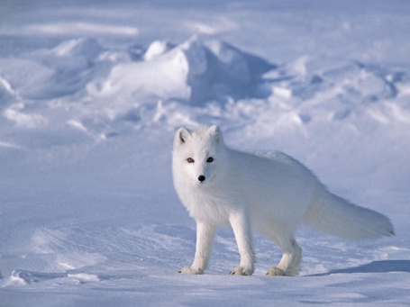 Фото Белая лиса стоит на снегу