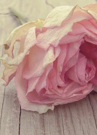 Фото Бледно розовая роза лежит на деревянных досках (© ), добавлено: 08.02.2013 01:04