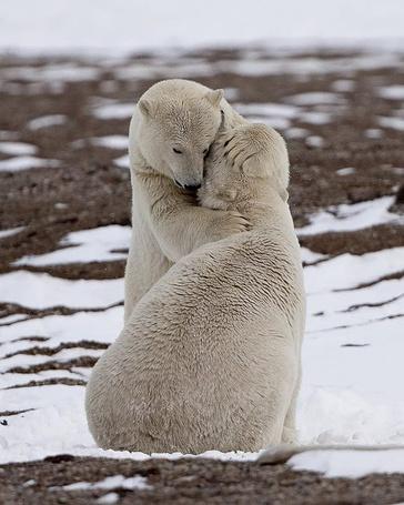 Фото Белый медвежонок обнимает медведицу, фотограф Mike Lockhart / Майк Локхарт