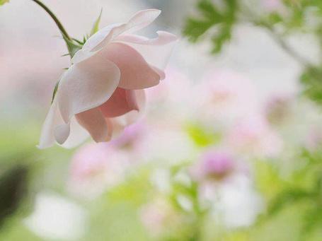 Фото Бледно-розовая роза (© ), добавлено: 11.02.2013 19:19
