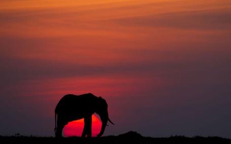 Фото Слон на закате солнца (© Black Tide), добавлено: 11.02.2013 19:42