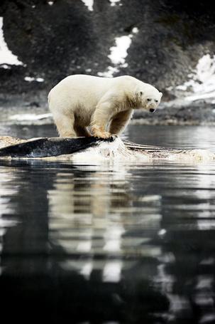 Фото Белый медведь у воды (© Banditka), добавлено: 12.02.2013 11:25
