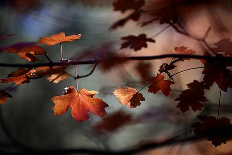 Фото Ветка осеннего клена с росой