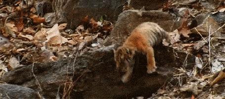 Фото Тигренок падает в листву