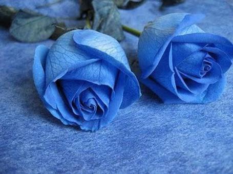 Фото Две голубые розы (© ), добавлено: 20.02.2013 23:23