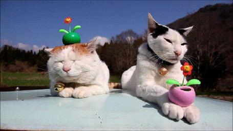 Фото У одного кота в лапах, а у другого - на голове, поместились веселые цветы, которые напевают  им колыбельную и они мирно засыпают