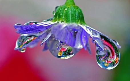 Фото Сиреневый цветок с капельками росы (© Астра), добавлено: 23.02.2013 15:04