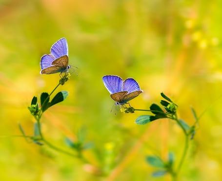 Фото Две голубые бабочки на цветках, фотограф Niloufar Hosein zadeh / Нилуфар Хосейн Ализаде (© ), добавлено: 24.02.2013 01:51