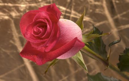 Фото Алая роза в каплях росы (© ), добавлено: 24.02.2013 02:25
