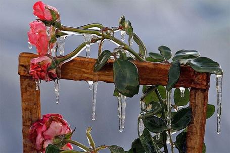 Фото Роза во льду, работа фотографа Orlando Sentinel (© Felikc), добавлено: 25.02.2013 10:58