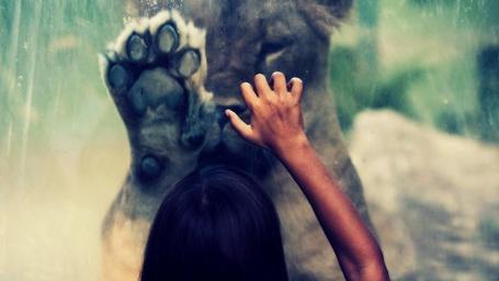 Фото Девочка и львица прикоснулись к стеклу с разных сторон, фотограф Robert Matakovic