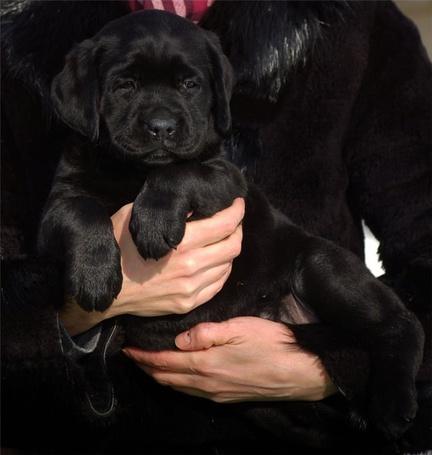 Фото Мужчина держит в руках щенка черного лабрадора