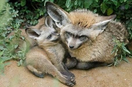 Фото Большеухая лисица / Bat-eared Fox со своим детенышем