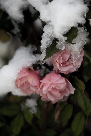 Фото Розовый куст роз поник под снегом (© BRODJaGA), добавлено: 26.02.2013 20:34