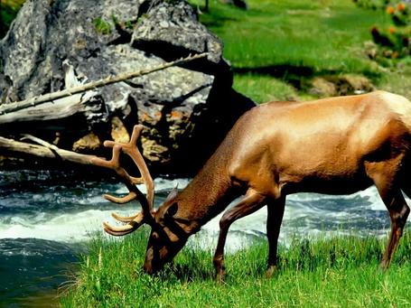 Фото Олень щиплет травку на берегу ручья