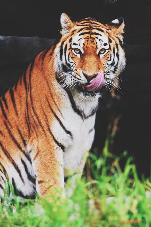 Фото Облизывающийся тигр