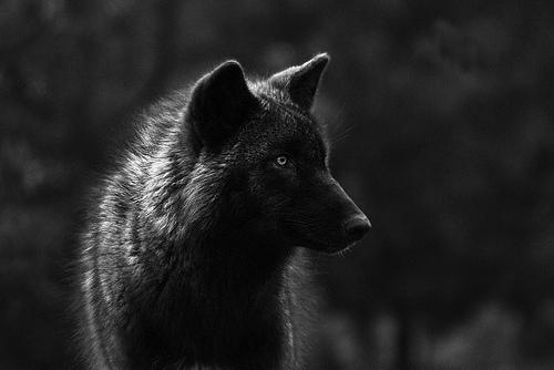 Тэги волки животные природа черно