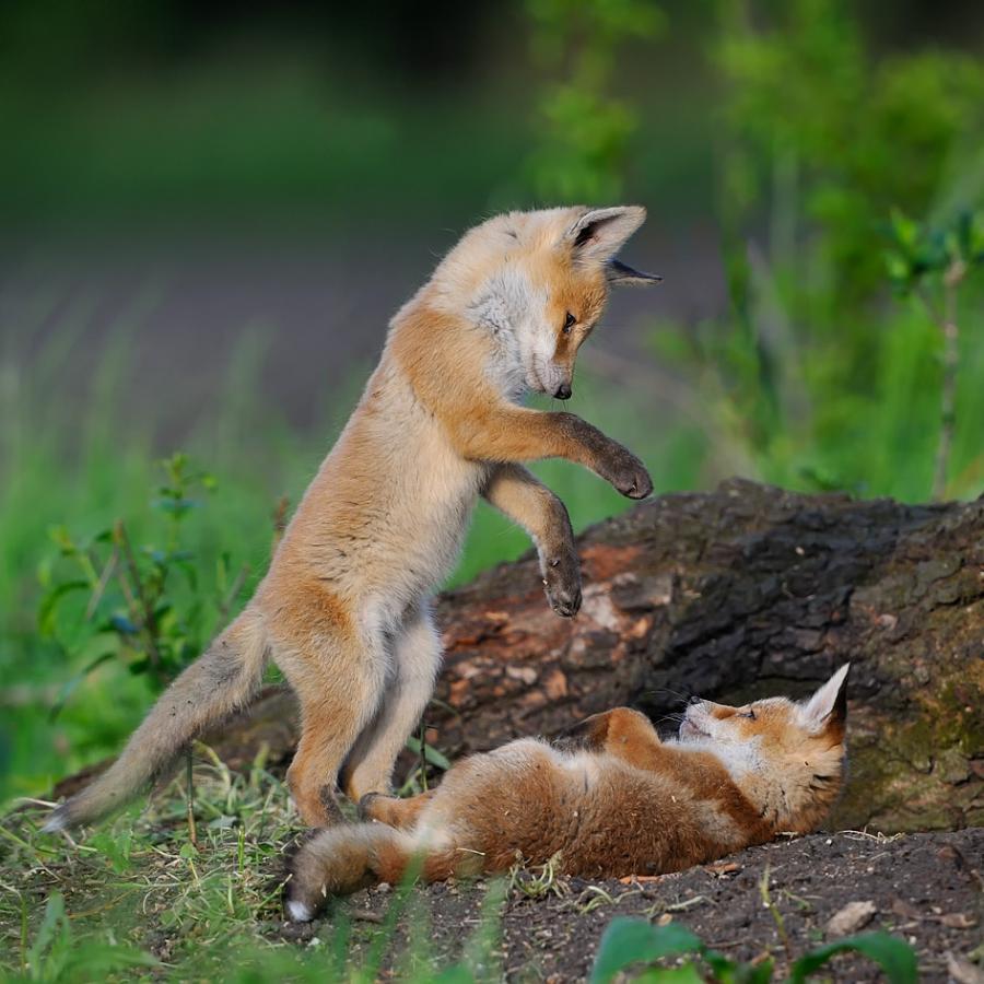 Тэги животные лисы милые природа