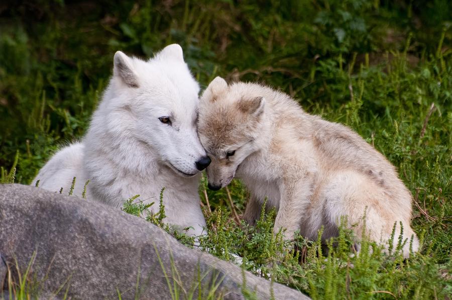 Черно белые волки фото