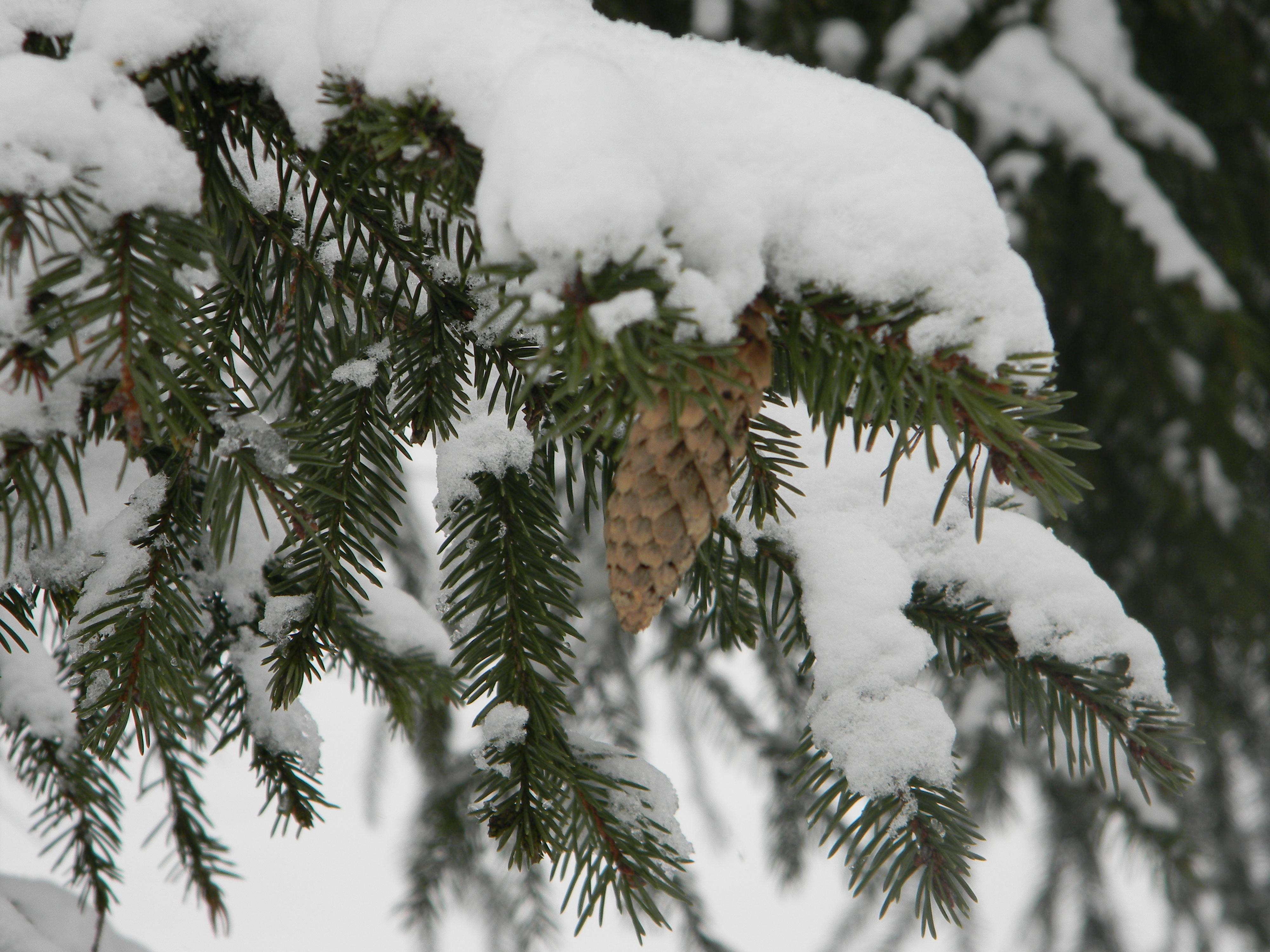симптомом ветряной фото шишки под снегом хозяйки