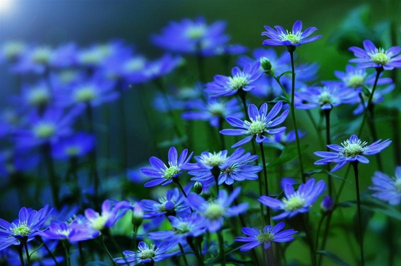 Голубые весенние цветы, фотограф Ken Ohsawa