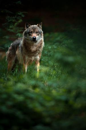 Фото Волк в лесу (© Seona), добавлено: 01.03.2013 01:01
