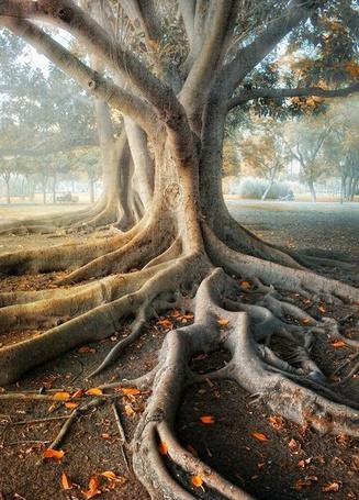 Фото Дерево с огромными корнями (© Marlow), добавлено: 02.03.2013 11:41
