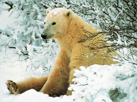 Фото Белый полярный медведь сидит в сугробе