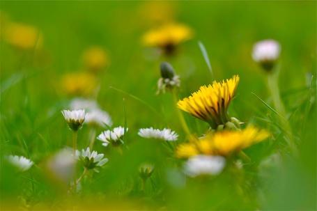 Фото Ромашки и одуванчики в траве