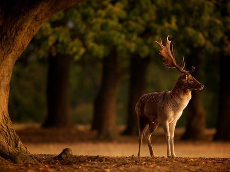 Фото Олень в лесу (© Seike), добавлено: 04.03.2013 15:25