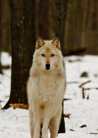 Фото Волк в зимнем лесу (© Seike), добавлено: 04.03.2013 15:32
