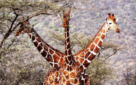 Фото Три жирафа стоят так, будто , это один причудливый трехголовый жираф