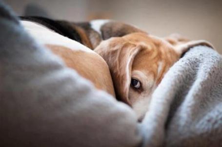 Фото Бигль глядит в сторону, лежа на покрывале (© Princessa), добавлено: 05.03.2013 07:17