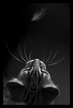 Фото Кот, наблюдающий за пером