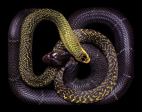 Фото Две змеи, желтого и фиолетового цвета,сплелись в брачном танце